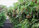 zhelezobetonnye-stolby-dlya-vinograda-maliny-zaporozhya-id644909.html Image1426923